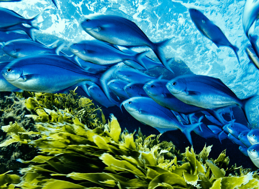 A school of reef fish above a bed of seaweed. Photo by Brian Skerry.
