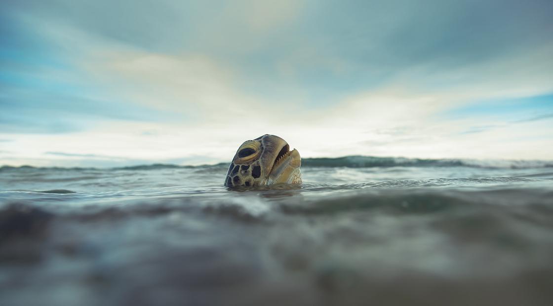 sea turtle, endangered, straw, save sea turtles, sea turtle taking breath