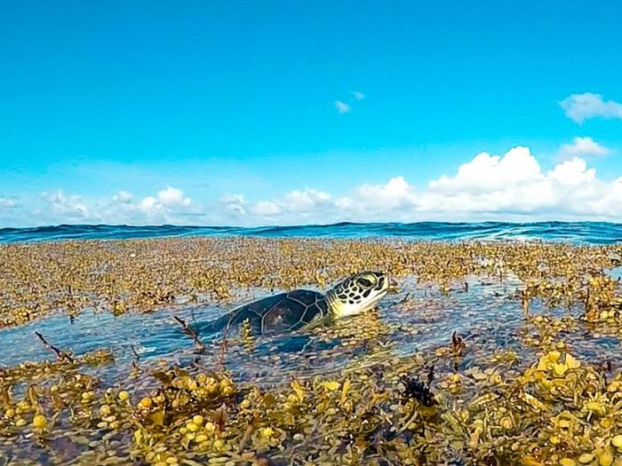 Caribbean, seaweed, invasion, Sargassum, sea education association, seaweed mats, seaweed drifts, Caribbean too much seaweed, sea turtle in seaweed, sea turtle harmed by seaweed