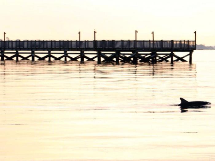 dolphin, charleston harbor