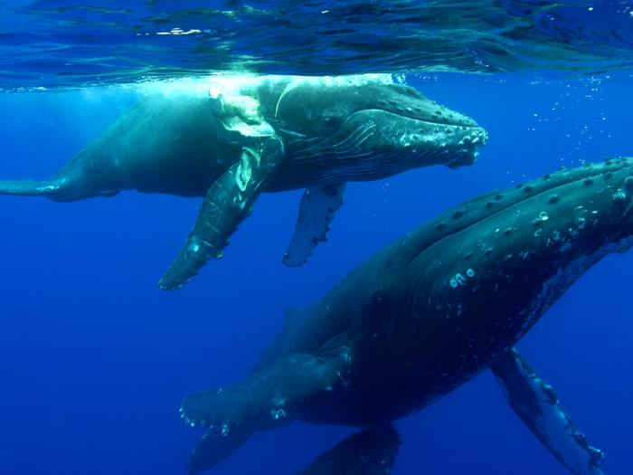 humpback whale, Hawaii, whale strike, whale hit by boat, whale swimming, whales in Hawaii,