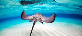 monthly giving, stingray, donate, sailors for the sea, donate to ocean
