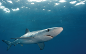 sharks, ocean planning, blue shark, marine science