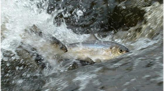 River Herring