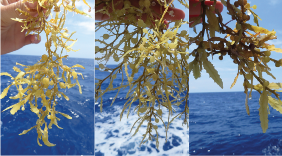 seaweed, sargassum, tall ship, marine research