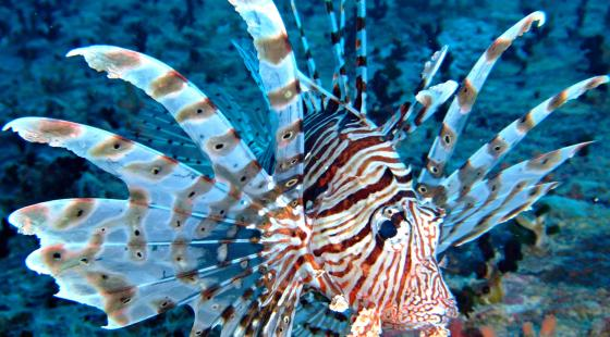 lionfish, venemous, catch lionfish, hunt lionfish, lionfish florida, lionfish facts