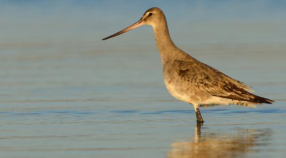 Hudsonian Godwit, Lake Erie, foraging bird,