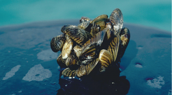 Zebra mussels, invasive species