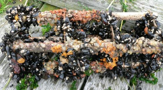 biofilm, mussels, barnacles