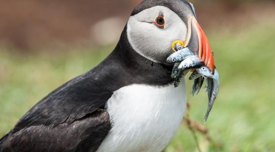 Puffin, mouth full of fish, waking ocean temperatures affect birds,