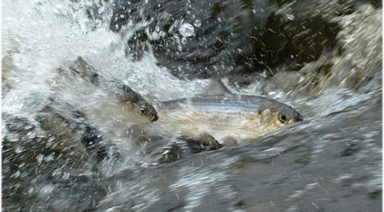 River herring swimming upstream