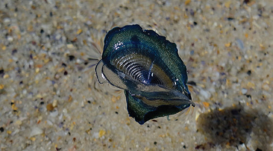 By-the-wind sailor, velella, jellyfish