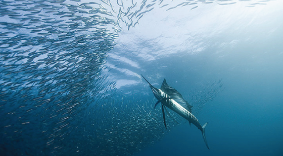 Sailfish, fishing, fishery
