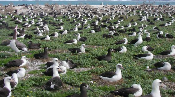 albatross, midway atoll, sea level rise