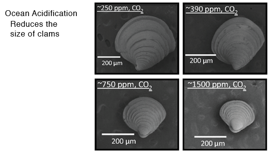 ocean acidification reduces the size of clams