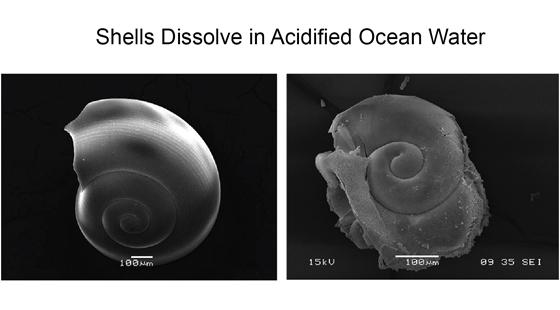 pteropod shells dissolve in acidified ocean water