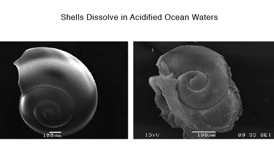 Shells Dissolve in Acidified Waters
