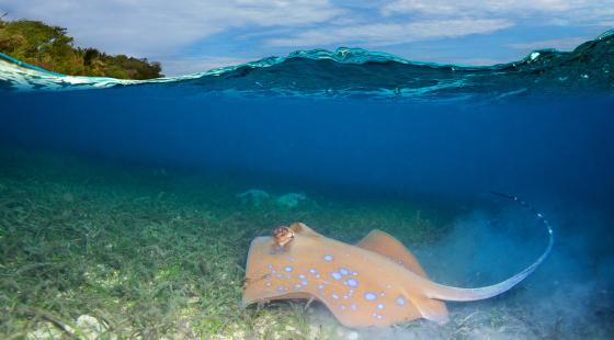 stingray swimming along seaweed bed