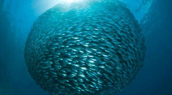 Yellowstripe Scad, baitfish ball, school of fish, ball of fish, Dampier Strait, Raja Ampat Islands, Indonesia, The Coral Triangle