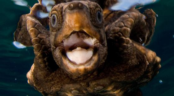 Sea Turtle, young sea turtle, close up sea turtle, open mouth