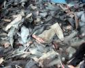shark finning, illegal, us waters, shark fin ban