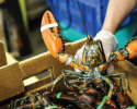 shellfish, lobster, fisheries