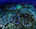 Montipora coral head