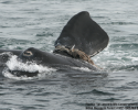whale, right whale, endangered, entangled