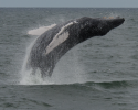 whales, humpback whale, breaching, ocean planning