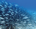 fish, marine science, coral reefs, Caribbean