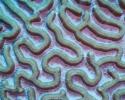 coral reefs, marine science, brain coral, Caribbean