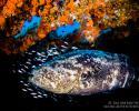 Grouper, Jim Abernethy