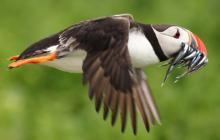 puffin, flying, puffin with fish