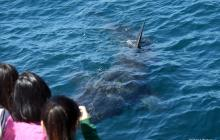 basking shark, basking shark project, citizen science
