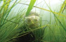 seagrass, scuba diver, seagrass bed