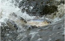 River herring swimming upstream
