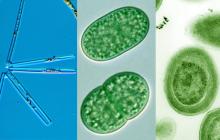 Thalassionema, Synechococcus, and Prochlorococcus