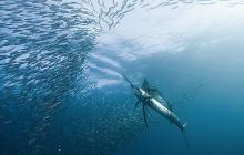 Sailfish, fishing, fishery