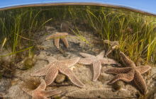 Starfish crawl across the shallow bottom of a Cape Cod bay in Massachusetts.
