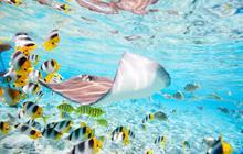 stingray, fish, tahiti