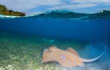 stingray swimming along seaweed bed