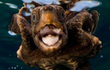 Sea Turtle, young sea turtle, close up sea turtle, open mouth